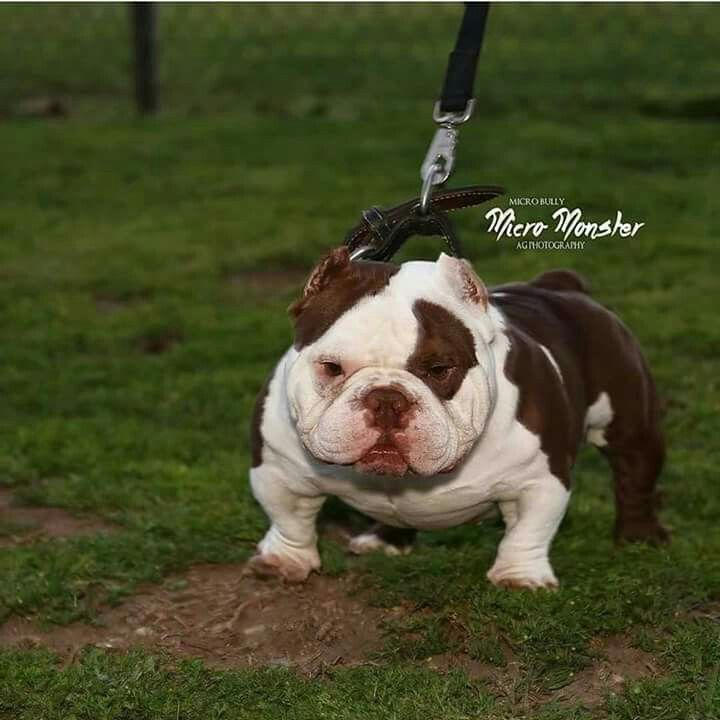 What Is This Bully Dog American Bully Pitbull Bully Breeds