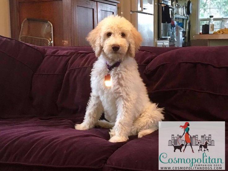 Cream Standard Goldendoodle puppy www.cosmopolitandogs.com, www.facebook.com/cosmodogs