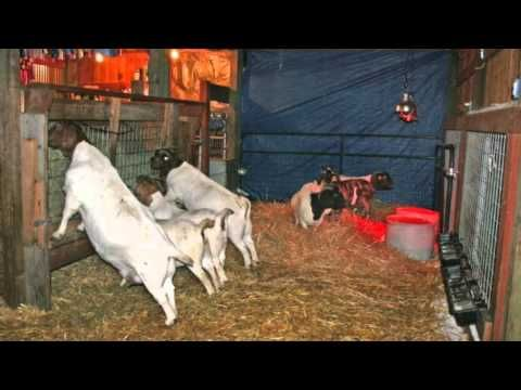#goatvet says see the end of this video fort photos of CAE ... - photo#27
