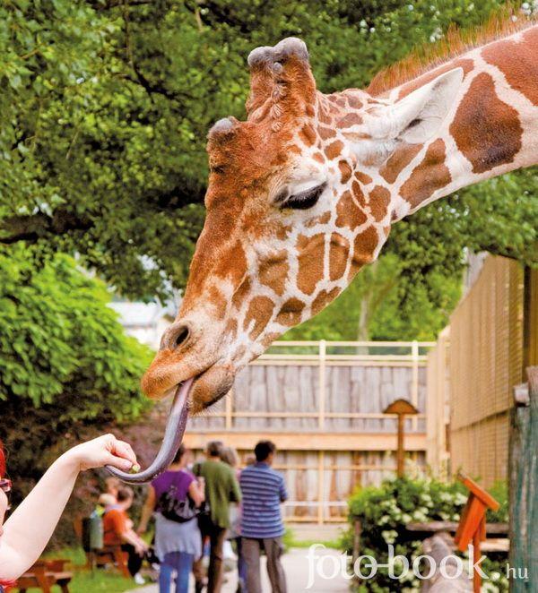 #zoo #giraffe (Győr, Hungary)