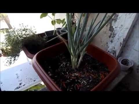 Como Plantar Rúcula em Casa??? ( inicio, meio, fim) - YouTube