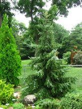 Picea omorika ' Gotelli Weeping ' Pendulous Serbian Spruce