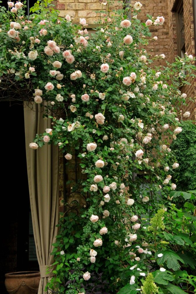 Rosa 39 New Dawn 39 Is One Of The Very Best Climbers The