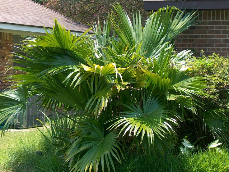 fan palm trees. chinese palm tree - fan plants and palms florida coconuts store trees
