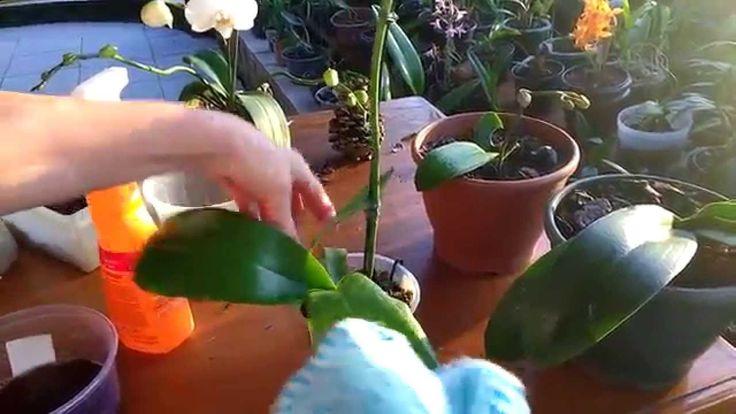 Trocando vaso da sua orquídea