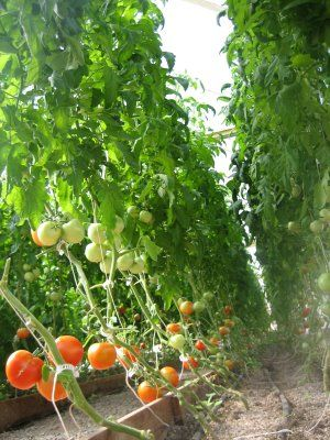 Vertical Tomato Farming! We got 350 plants, each growing 10-12 feet high in our greenhouse using string and clamps.