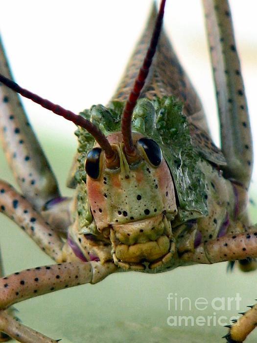 Locust / Grasshopper