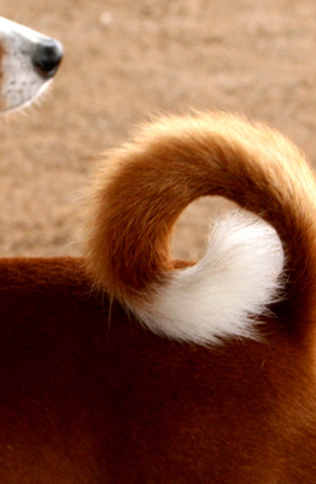 That basenji tail curl.