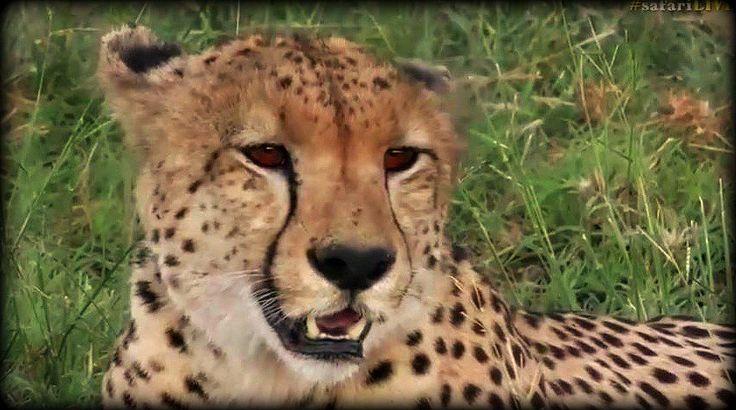 Male Cheetah on Arathusa  #safarilive @BrentLeoSmith 2-11-17