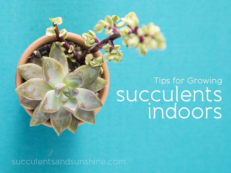 Growing Succulents Indoors Tutorial