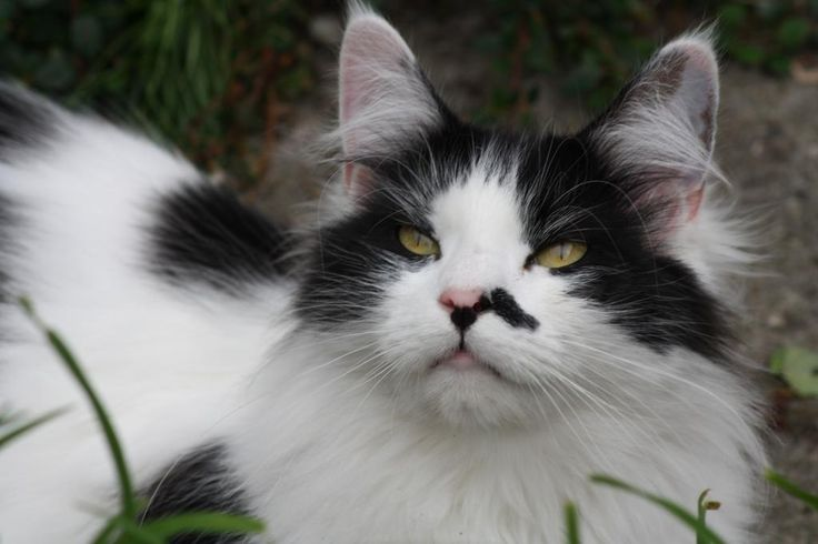 Maine Coon, Black Solid & White (n 09). R&S Defeny Divah