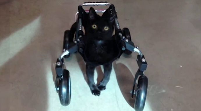"LOS ANGELES (PIX11) -- A special-needs kitten who was at risk of being euthanized is getting a second chance at life after a rescue organization designed a special wheelchair to help her walk. ""Tum..."