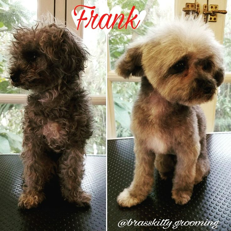 Frank: a dapper little man.  Frank is sporting a Spa Wash and Cut.  #poodle #toypoodle #poodlesofinstagram #toypoodles #groomer #doggrooming #losangeles #hollywood