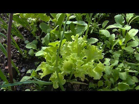 Как вырастить салат. - YouTube