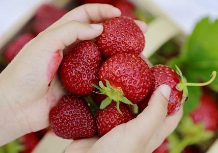 Erdbeeren selber pflücken.