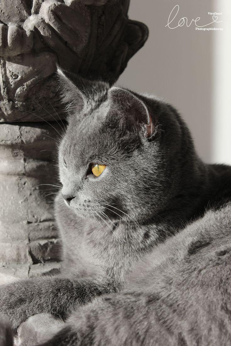 Best 25 Chartreux cat ideas on Pinterest