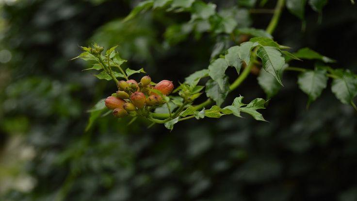 Вьющиеся растения.  Кампсис в дизайне и фитодизайне.