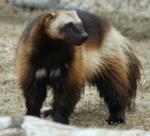 The wolverine is the largest land-dwelling species of the family Mustelidae. It is a stocky and muscular carnivore. The wolverine has a reputation for ferocity and strength out of proportion to its size, with the documented ability to kill prey many times larger than itself.