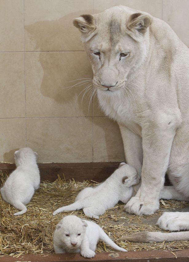 White Lion babies | Animal Kingdom | Pinterest
