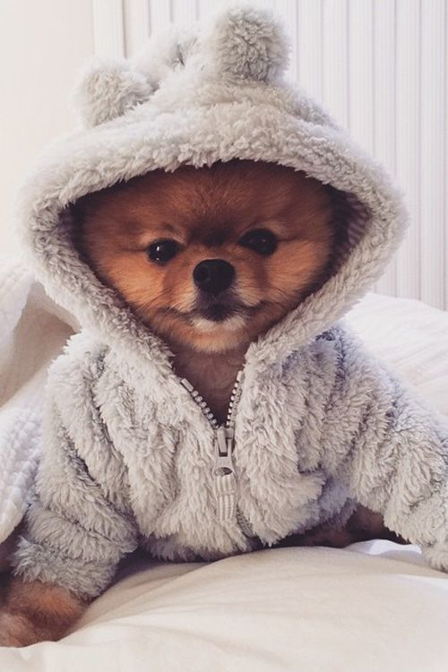 Pomeranian in a hoodie. Although I don't generally agree with putting clothes on dogs, unless it's cold or they look fabulous, this photo was too stinkin' adorable.