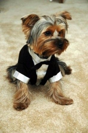 Image result for yorkie new year dress