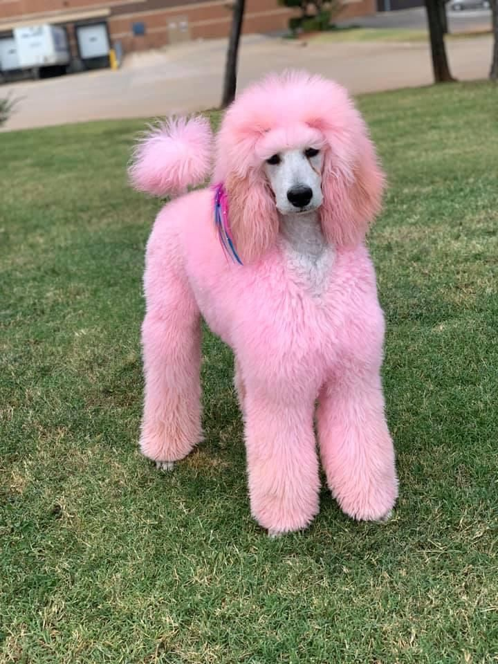 Gallery Pet Color Shampoo In 2020 Color Shampoo Funky Colour