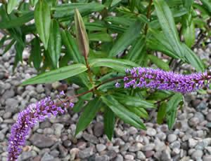 Hebe 'Midsummer Beauty' is a large, strong-growing, upright evergreen shrub, about 5 ft (1.5 m) high. The green leaves are spear-shaped, up to 4 in (10 cm) long, and purplish when young. The flowers are light violet fading to white, and occur in long spikes up to 12 in (30 cm) long, summer to late autumn. A hebe fairly hardy in the UK.