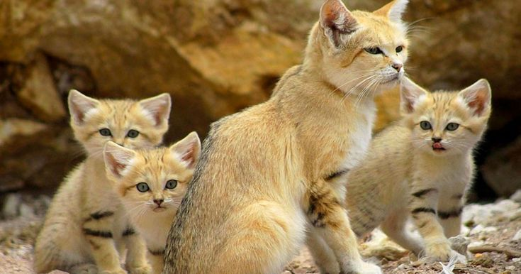 Admire the sand cats that have amazing special to look like kittens all their lives