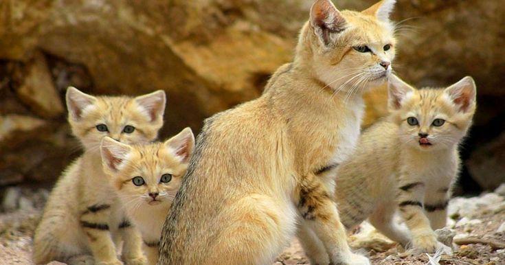 Une-chat-sable