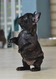 Dicar Kennel - Bulldog Francês - Rio de Janeiro, Brasil