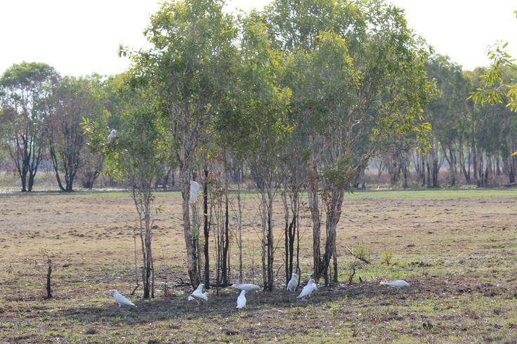 Correllas in the trees
