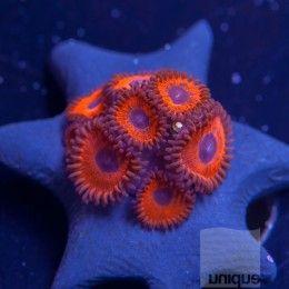 "Zoanthus sp. - ReefGen ""Superduperman"" Zoanthid - 1"" 4-8 Polyp Stock Frag"