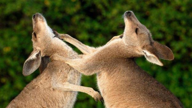 Битва восточных серых кенгуру (Macropus giganteus)