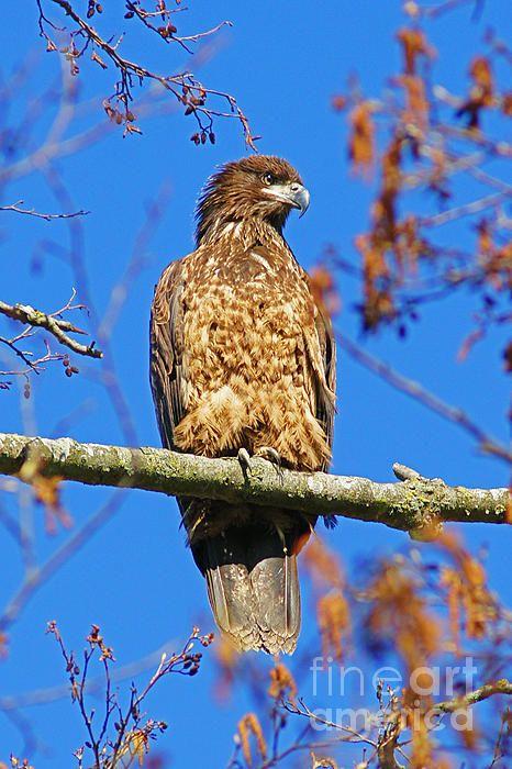 Eagle on the Branch. www.rharrisphotos.com