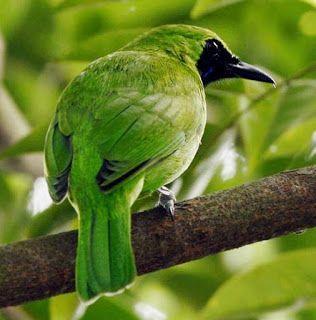 Burung Cucak Hijau di alam bebas #bird #pets #hewan #peliharaan #fotografi #foto #animals