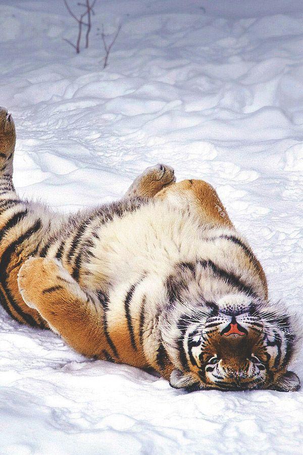 Auch große Katzen spielen im Schnee