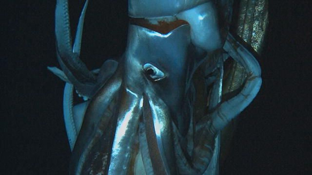 Monster Squid: Discovering the Giant Squid : Video : Discovery Channel