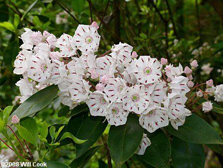 Laurel (Kalmia latifolia)