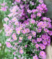 Cây hoa thạch thảo http://www.caycongtrinh.com.vn/cay-hoa-la-mau-cay-bui-tham/cay-hoa-thach-thao