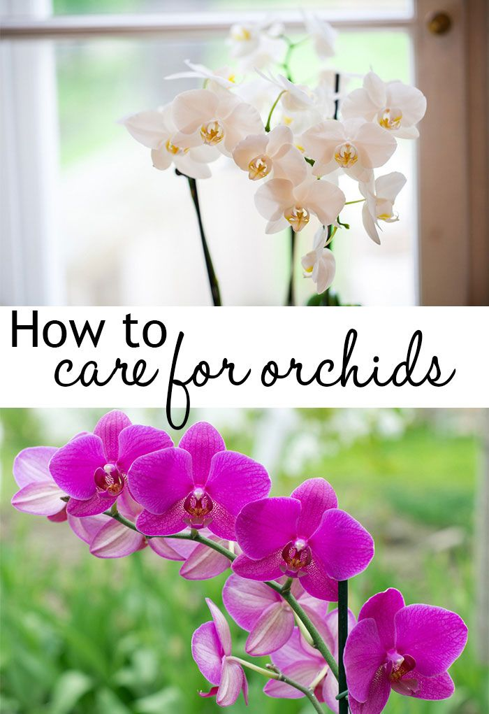 How to care for orchids - they are a great houseplant and so low-maintenance if you know how to care for them! Plus they flower for months