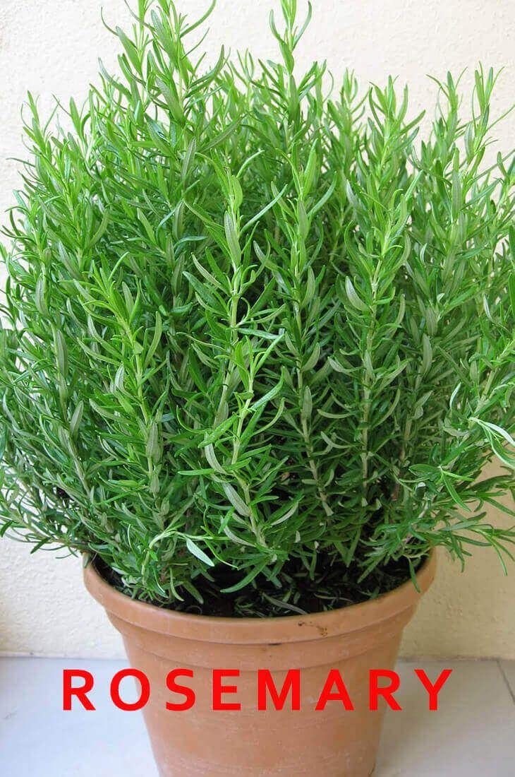 12 Best Medicinal Herbs Indoors How To Grow Best Herbs To Grow Rosemary Plant Growing Rosemary