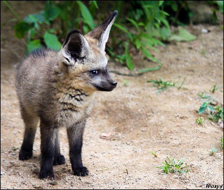 Grumpy baby fox watching out corner of eye ©woxys.