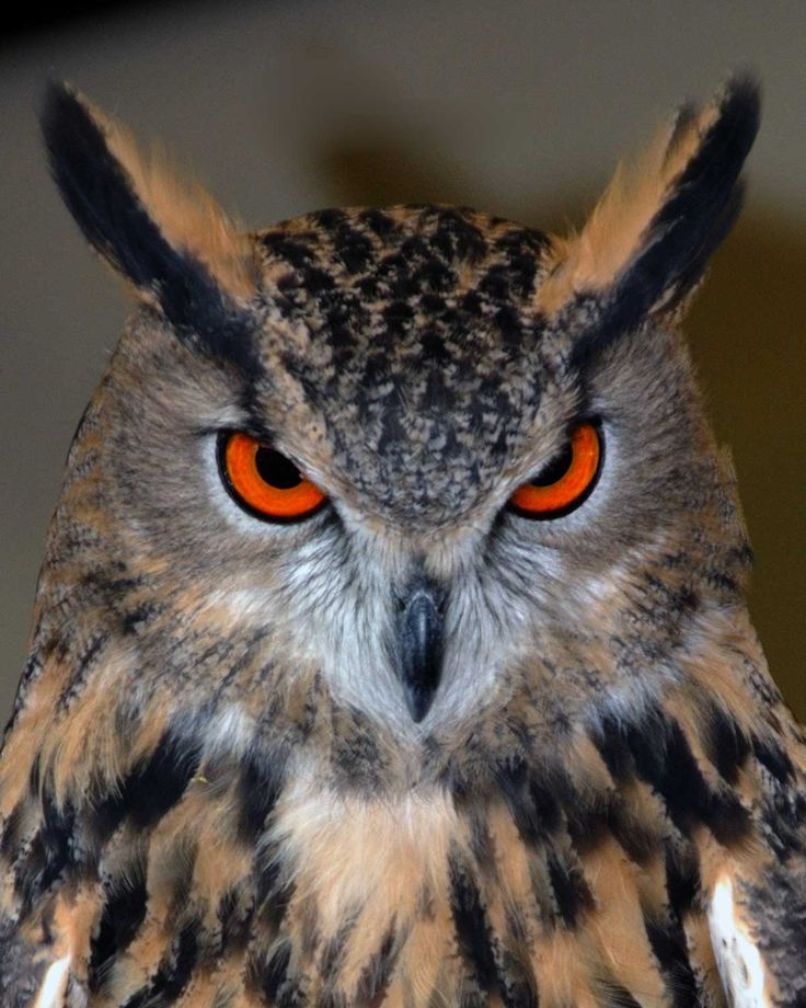 Eurasian Eagle Owl.....amazing eyes!!
