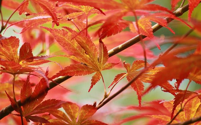 Acer Palmatum Osakazuki Gives The Reddest Colour Of All The Acers Acer Palmatum Hardy Plants Plants