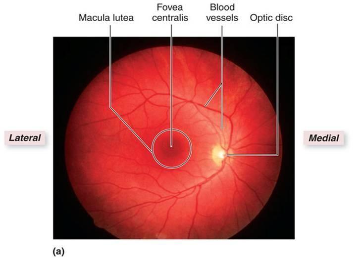 Ocular Anatomy Coloring Book : 27 best eye anatomy images on pinterest
