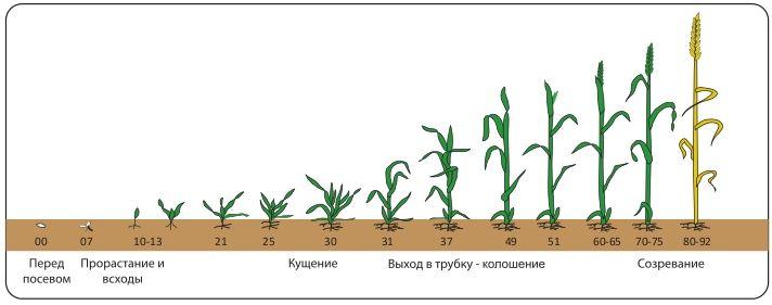 Зерна проросшей пшеницы, корейский салат