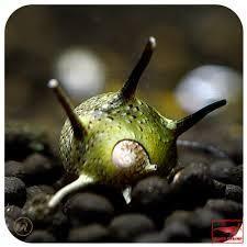 5 Green Horned Nerite fresh water aquarium Snails