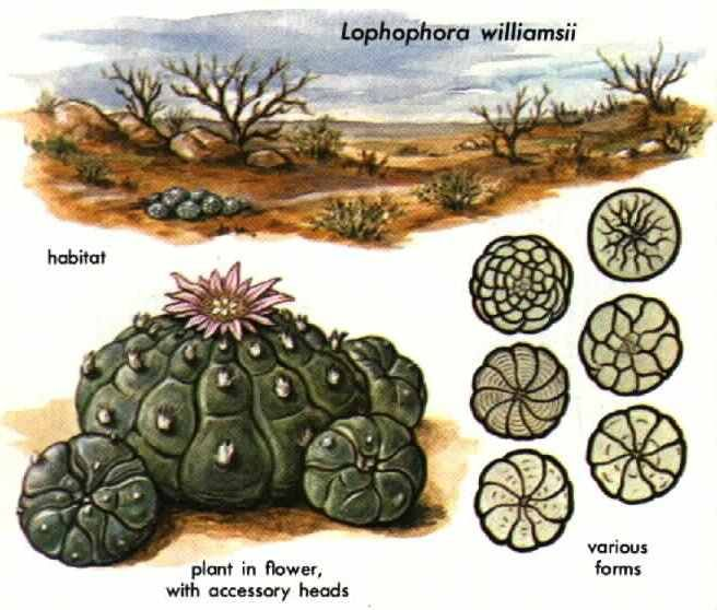 Lophophora williamsii is a small cactus native  to Mexico, Texas and New Mexico.  Growing instructions  Sow seeds in sandy soil. Do not cov...