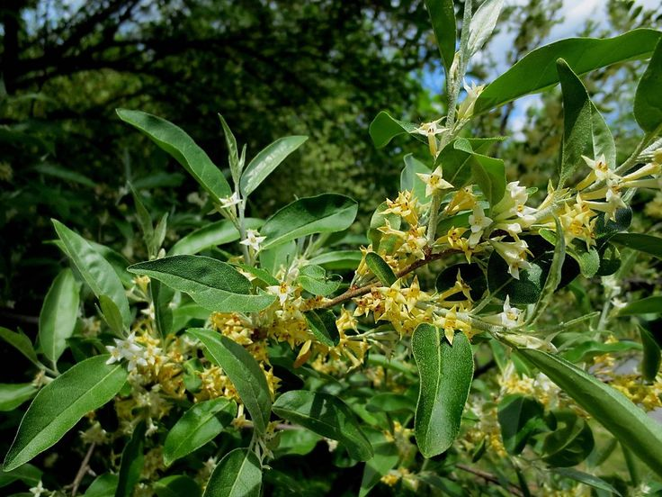 Trumpet-like flowers of autumn olive are cream to yellow