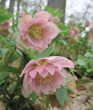 """Hellebore, Phoebe  Perennial Zone 5-9, FULL SHADE to part shade, Height 18-24"""", Spread 18-24"""", Bloom in very early spring, Deer resistant"""